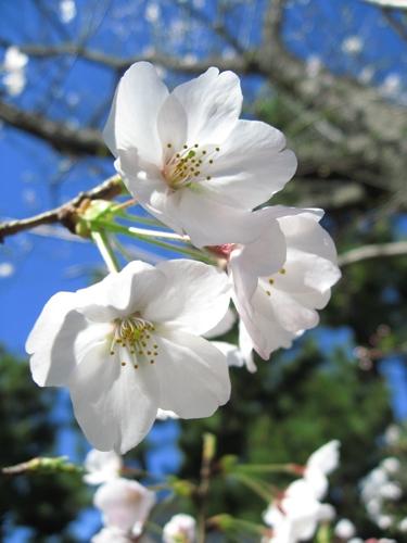 Sakura10045_1