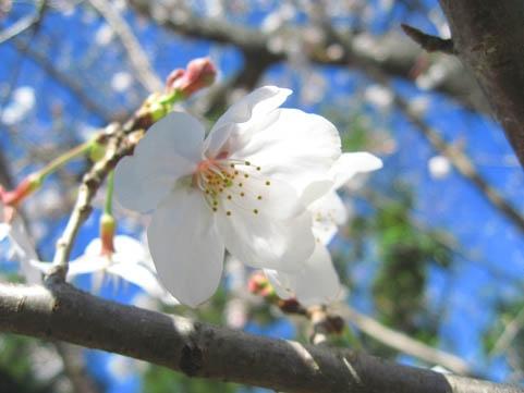 Sakura1201904