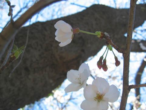 Sakuramyo1904