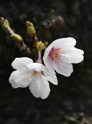 Sakura21803