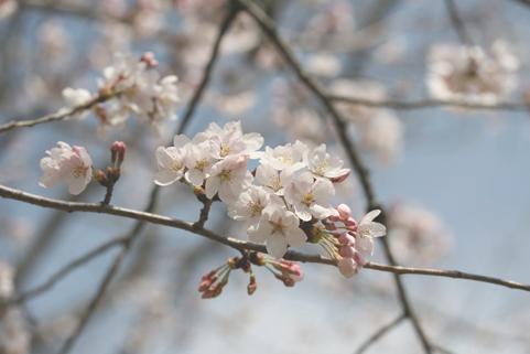 Sakura41803
