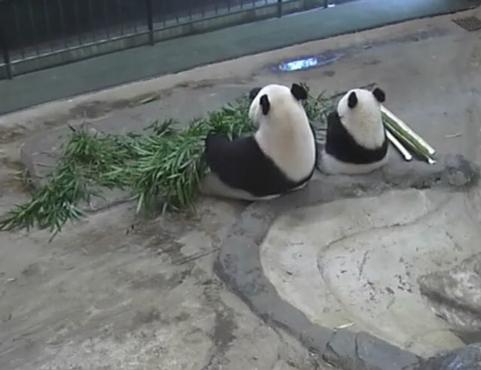 Pandafa1