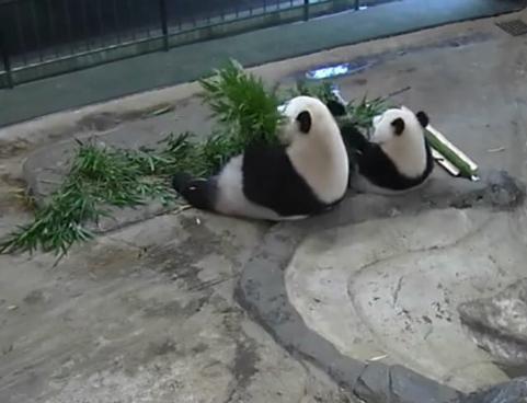 Pandafa2